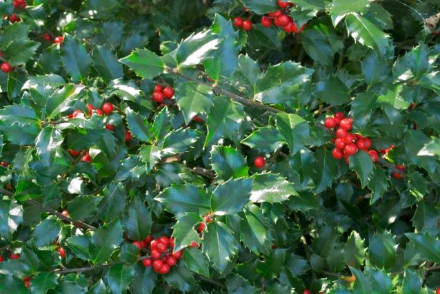 Holly Berries