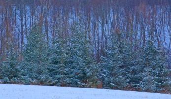 Pine Tree Lineup