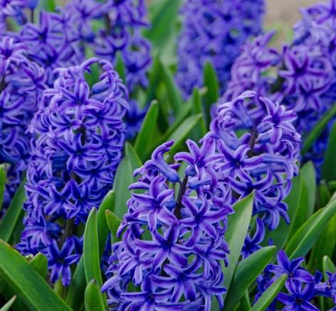 Purple Hyacinth