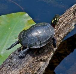 Innisfree Turtle