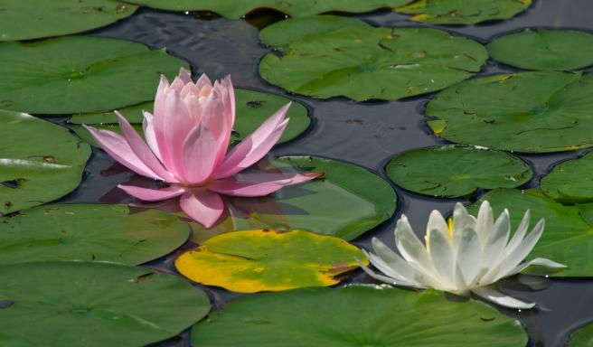 Innisfree Water Lilies