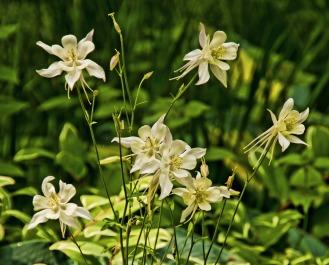 Yaddo Lilies