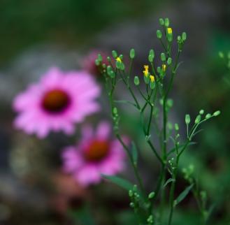Cone Flower Blur