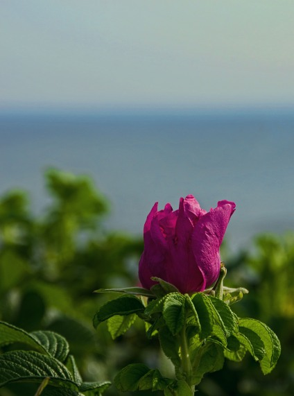 Marginal Way Rose