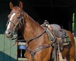 Saratoga Work Horse