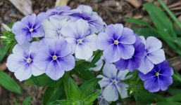 Locust Grove Floral Purple
