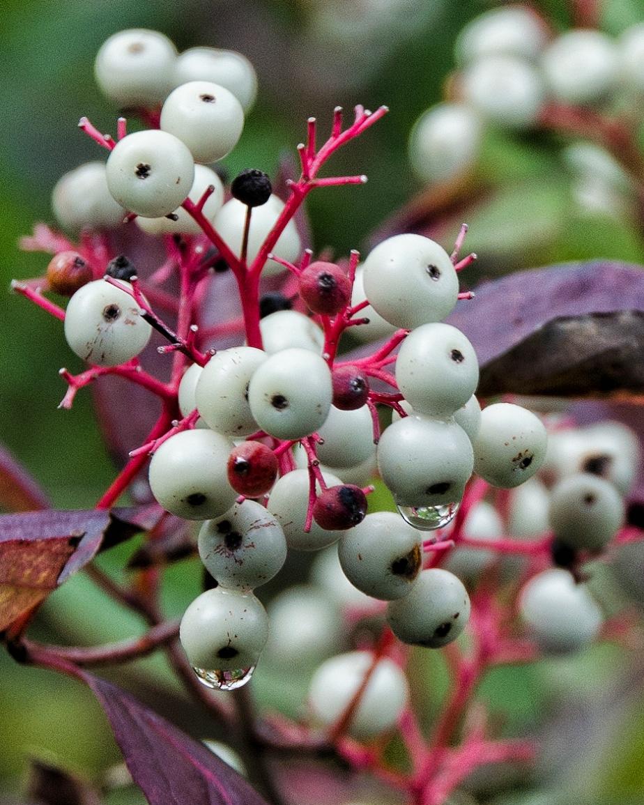 WhiteBaneberry